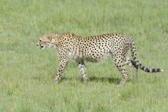 Cheetah walking in high grass on savannah Royalty Free Stock Photo