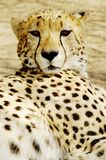 Cheetah (Acinonux jubatus) cubs, South Africa Royalty Free Stock Image