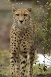Cheetah (Acinonyx jubatus) Royalty Free Stock Photo