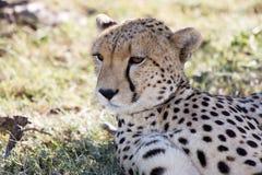 Cheetah (Acinonyx jubatus) Royalty Free Stock Photo