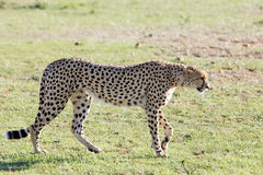 Cheetah (Acinonyx jubatus) Royalty Free Stock Photos