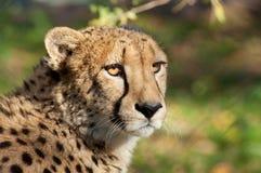 Cheetah - (Acinonyx jubatus) Royalty Free Stock Photos