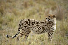 The cheetah (Acinonyx jubatus). Costs against a yellow grass stock images