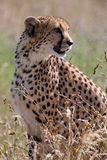 Cheetah (Acinonyx jubatus) Royalty Free Stock Photography