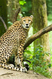 Cheetah or Acinonyx jubatus Stock Photos