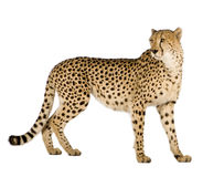 Free Cheetah - Acinonyx Jubatus Royalty Free Stock Photos - 6073348