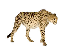 Cheetah - Acinonyx jubatus Stock Images