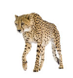 Cheetah - Acinonyx jubatus Royalty Free Stock Photos