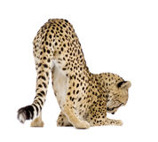 Cheetah - Acinonyx jubatus Royalty Free Stock Images