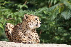 Cheetah - Acinonyx jubatus Stock Photography