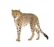 Cheetah - Acinonyx jubatus Royalty Free Stock Image