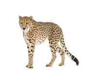 Cheetah - Acinonyx jubatus Royalty Free Stock Image
