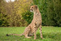 Cheetah sitting on grass with green background stock photos