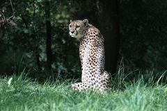 Cheetah, Acinonyx jubatus, beautiful mammal animal in the zoo royalty free stock photos