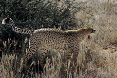 Cheetah Royalty Free Stock Photos