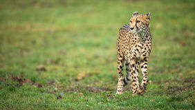 Cheetah (Acinonyx jubatus) Royalty Free Stock Photos