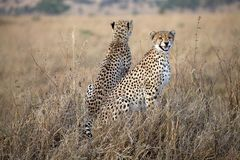 Cheetah (Acinonyx jubatus) Royalty Free Stock Images