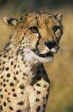 Cheetah (Acinonyx Jubatus) close-up Stock Photo