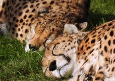 A cheetah / acinonyx jubatus couple sleeping together in the grass. Two cheetahs / acinonyx jubatus sleep peacefully head to head in the grass. Classified as a Stock Images