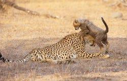 Cheetah (Acinonyx jubatus) cub Stock Photos