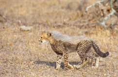 Cheetah (Acinonyx jubatus) cub Royalty Free Stock Image