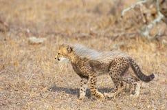 Cheetah (Acinonyx jubatus) cub royalty free stock image