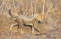Cheetah (Acinonyx jubatus) cub Stock Photos