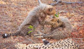 Cheetah (Acinonyx jubatus) cubs Royalty Free Stock Photos