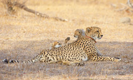Cheetah (Acinonyx jubatus) cubs Stock Photo