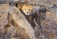 Cheetah (Acinonyx jubatus) cubs Stock Image