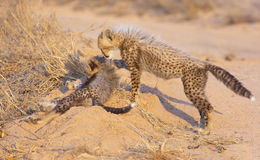 Cheetah (Acinonyx jubatus) cubs Stock Photography