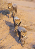 Cheetah (Acinonyx jubatus) cubs Royalty Free Stock Image