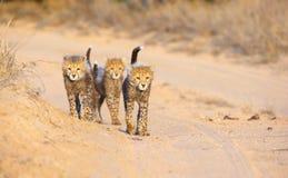 Cheetah (Acinonyx jubatus) cubs Stock Photography