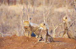 Cheetah (Acinonyx jubatus) cubs Royalty Free Stock Photography