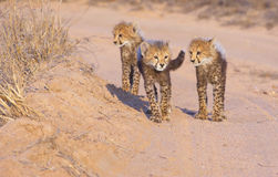 Cheetah (Acinonyx jubatus) cubs Stock Photos