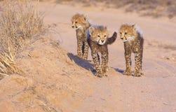 Cheetah (Acinonyx jubatus) cubs Stock Photos