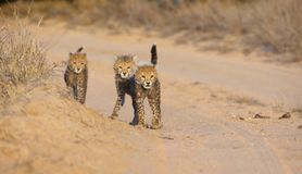 Cheetah (Acinonyx jubatus) cubs Royalty Free Stock Photo