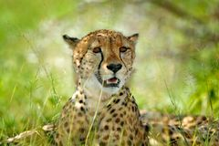 Cheetah, Acinonyx jubatus, detail portrait of wild cat. Fastest mammal on the land, Nxai Pan National Park, Botswana. Wildlife sce. Ne from African nature stock photos