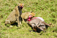 Cheetah (Acinonyx jubatus) Eating the carcass Royalty Free Stock Photography