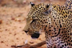 Cheetah captured in Namibia royalty free stock photography