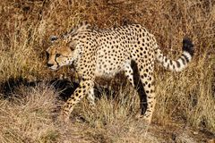 Cheetah, Acinonyx jubatus at a game drive in Namibia Africa stock images