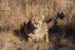 Cheetah, Acinonyx jubatus at a game drive in Namibia Africa stock photos