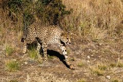 Cheetah, Acinonyx jubatus at a game drive in Namibia Africa stock images