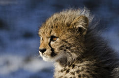 Cheetah (Acinonyx jubatus jubatus) Royalty Free Stock Photo