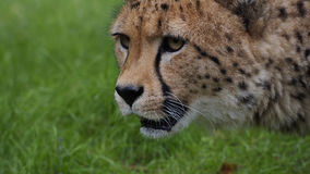 Cheetah (Acinonyx jubatus jubatus) Royalty Free Stock Photos