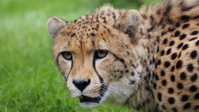 Cheetah (Acinonyx jubatus jubatus) Stock Photo