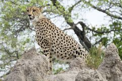 Cheetah (Acinonyx jubatus) Stock Photography