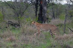 Cheetah (Acinonyx jubatus) Royalty Free Stock Image