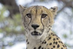 Cheetah (Acinonyx jubatus) Stock Photo