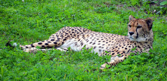 The cheetah. Acinonyx jubatus is a large felid of the subfamily Felinae that occurs mainly in eastern and southern Africa and a few parts of Iran. The only Royalty Free Stock Images